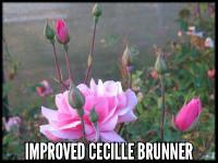 Improved Cecile Brunner