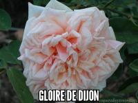Gloire de Dijon