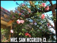 Mrs. Sam McGredy Cl.