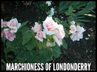 Marchioness of Londonderry