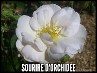 Sourire d'Orchidee