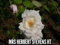 Mrs. Herbert Stevens HT