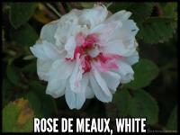 Rose de Meaux, White
