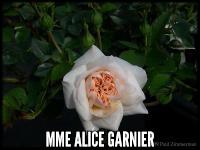 Mme Alice Garnier (Brownlow Hill Rambler)