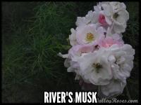 Rivers' Musk