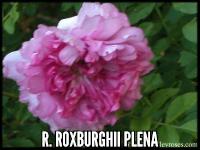 R. roxburghii plena (Double Chestnut Rose)