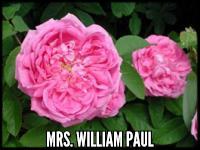 Mrs. William Paul