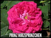 Prinz Hirzeprinzchen
