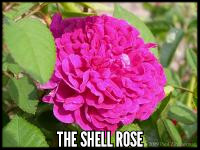 The Shell Rose (Reine Victoria)