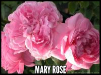 Mary Rose ** ™®