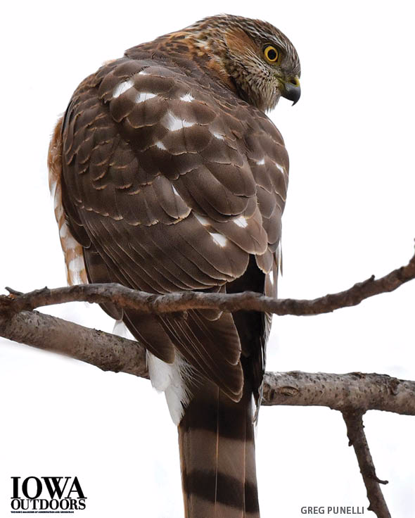 How to tell a Cooper's hawk from a sharp-shinned and other cool things about Cooper's hawks | Iowa DNR