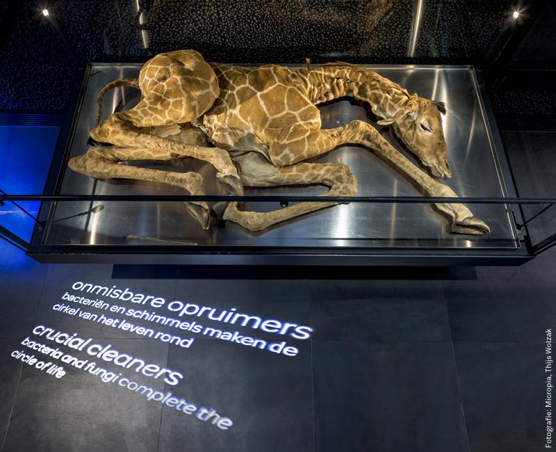Foto dood giraffeveulen in Micropia. Foto Micropia, Thijs Wolzak