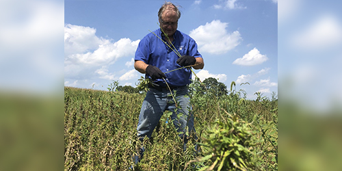 Agronomy educator Jeff Graybill of Penn State Extension hand-harvests hemp stalks for fiber production. IMAGE: ALYSSA COLLINS