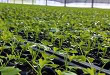 Organic celery transplants