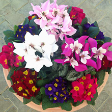 Cyclamen and Primula Mixed Pot