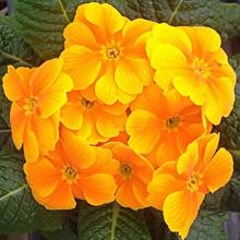 Primula Paradiso Early Orange
