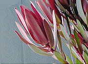 LEUCADENDRON SAFARI SUNSET MULTI
