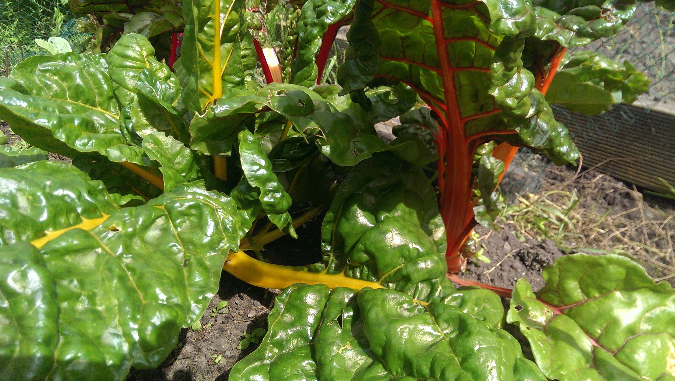 chard in the allotment