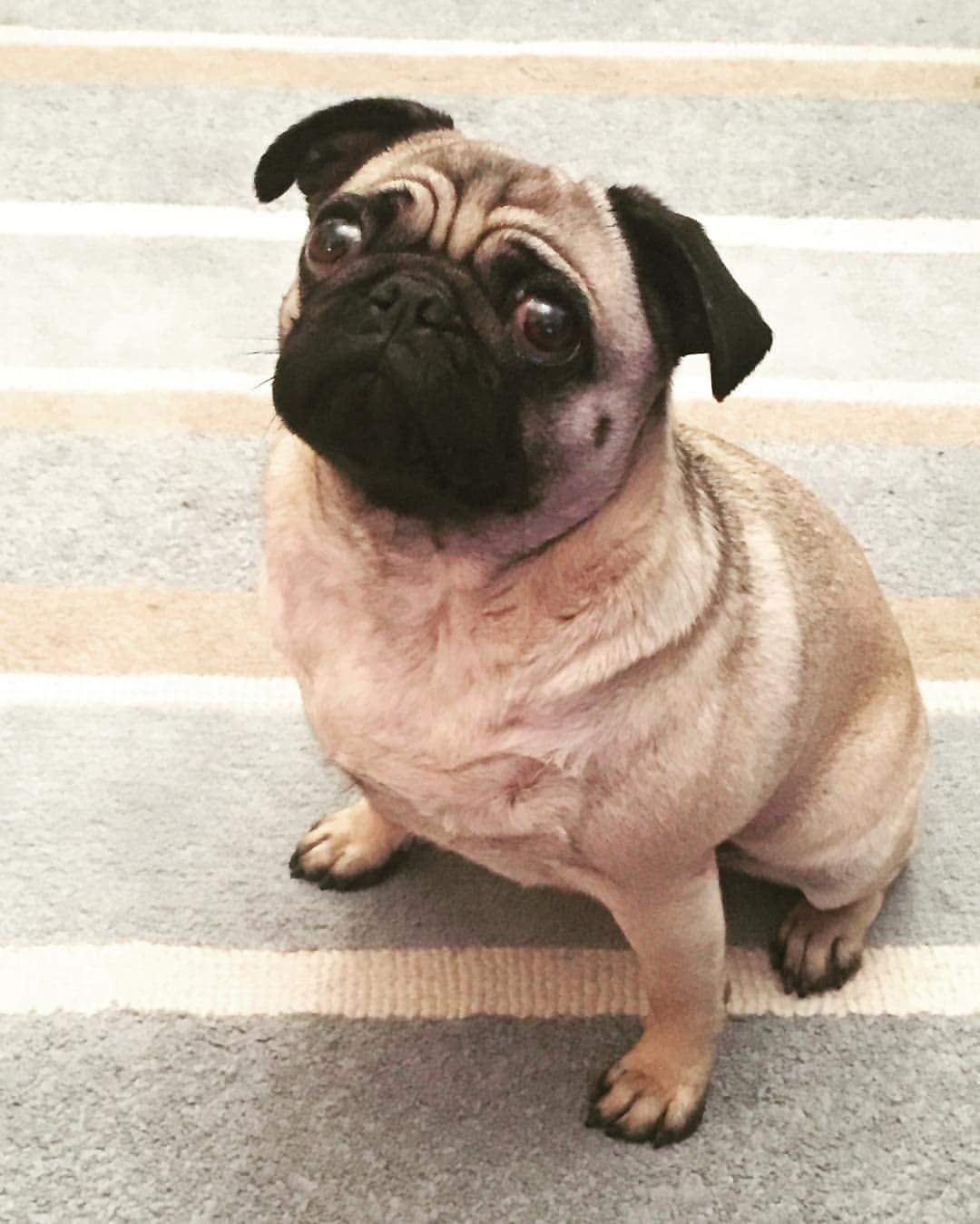 coco the fitness pug