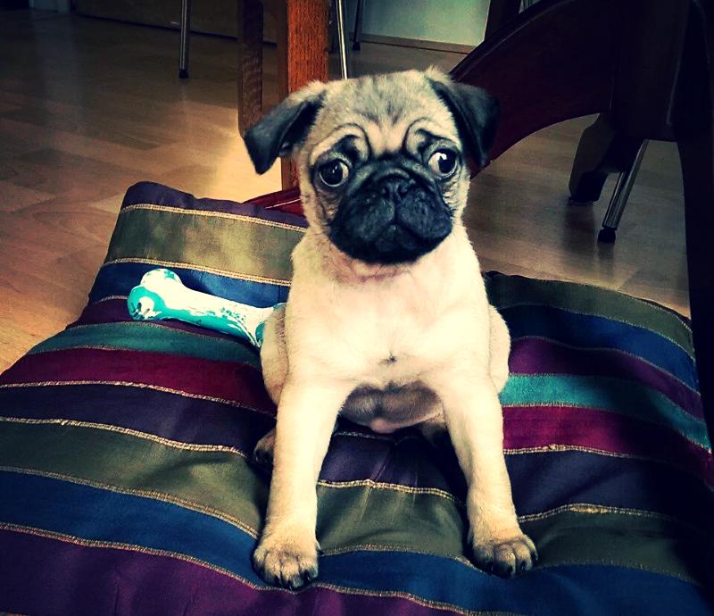 Coco the pug puppy