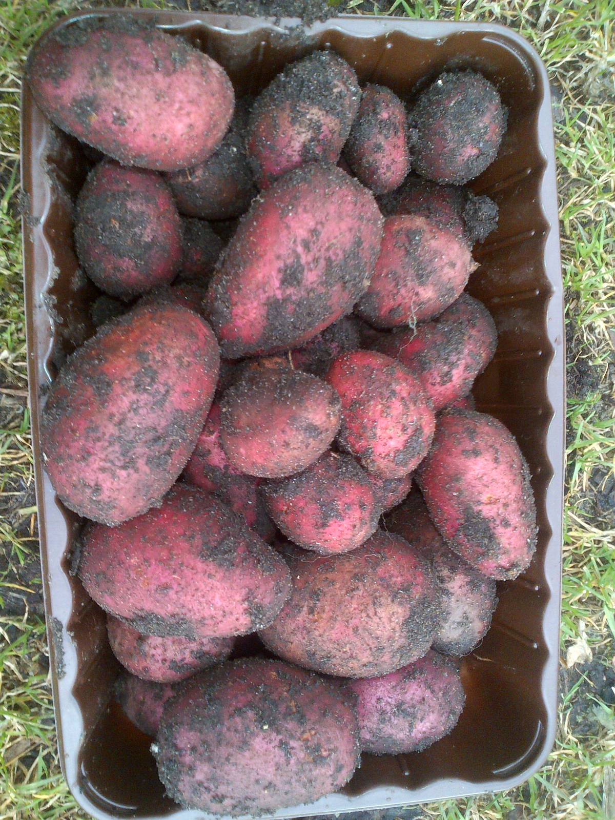 allotment tatties