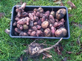 allotment potatoes and parsnip