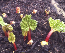 rhubarb in our allotment