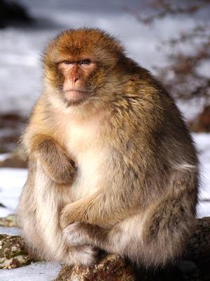 Obese monkey