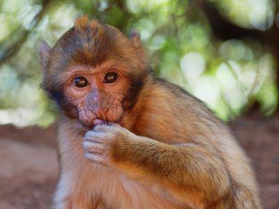 Wild Barbary macaque