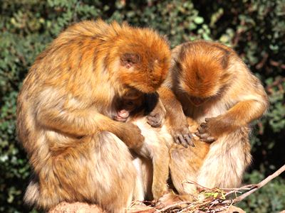 Grooming Barbary macaques
