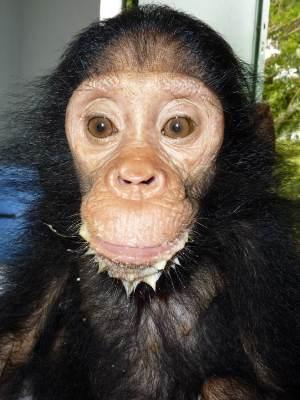 Chimp rescued by J.A.C.K.