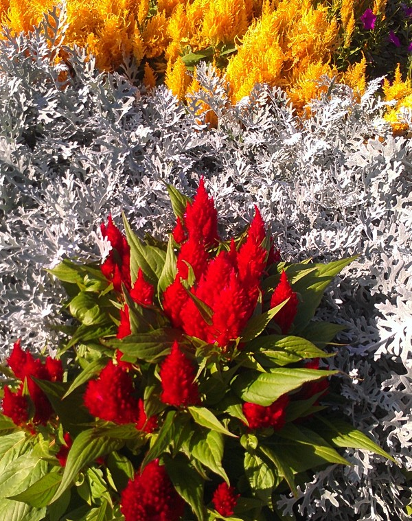 Celosia with Dusty Miller