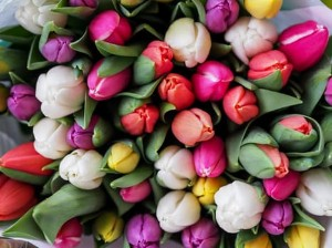 Tulip Flower of the Month January