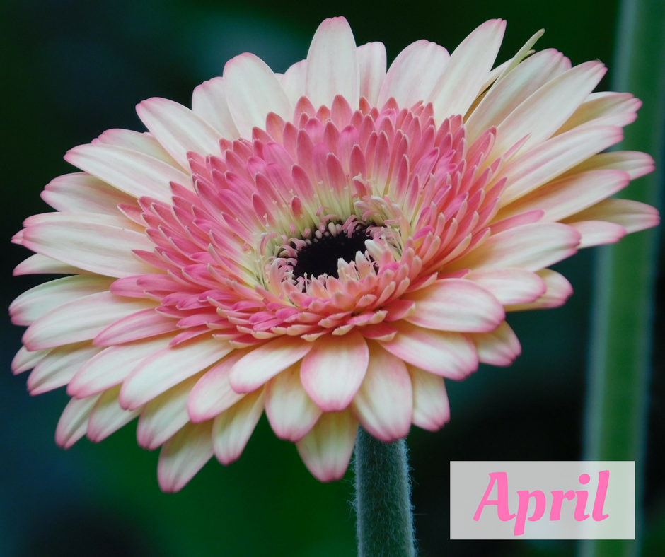 Gerbera Flower of the Month April