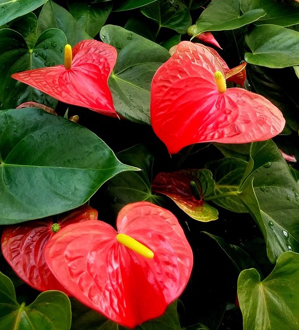 Anthurium Flower of the Month August 2017