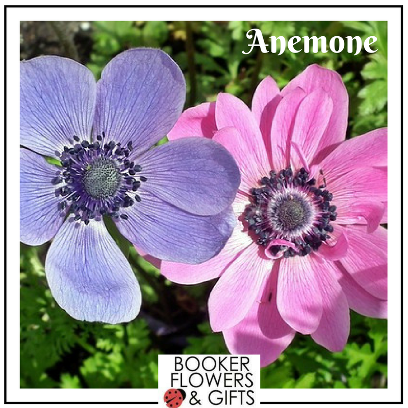 Hello March - flower of the month, Anemone