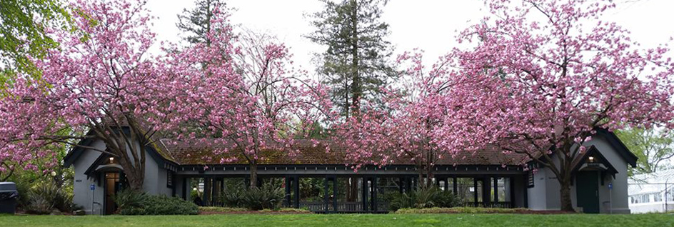 Cherry Trees in Vol Park