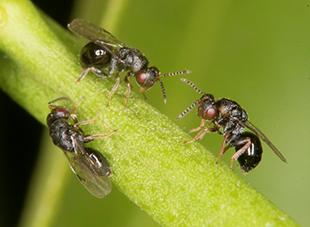citrus gall wasp