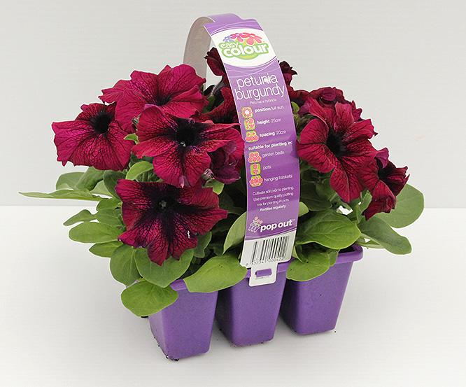 Easy Colour  Petunia Burgundy