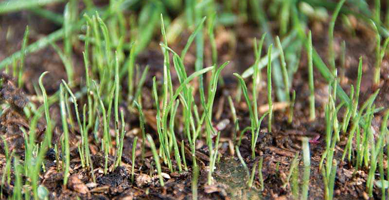 Sowing lawn seed