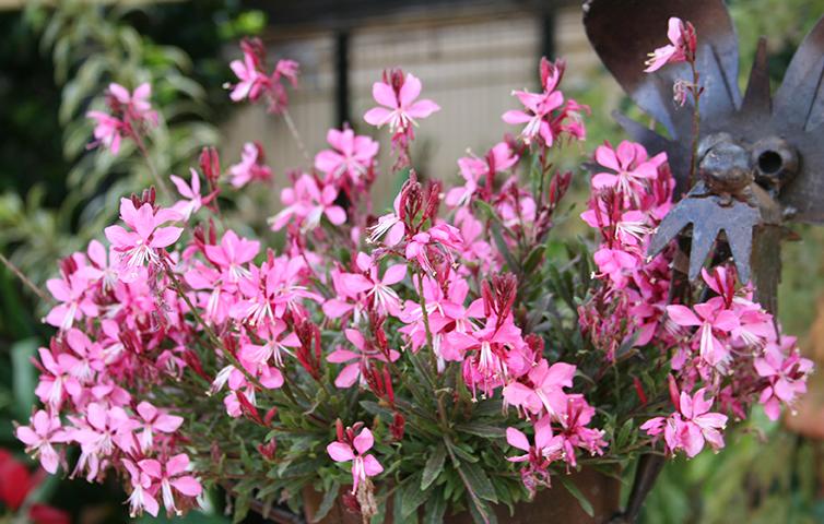 Gaura Lillypop Pink