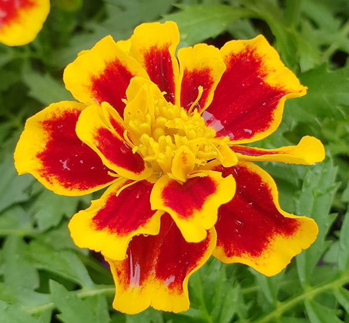 Easy Colour Marigold French Bee