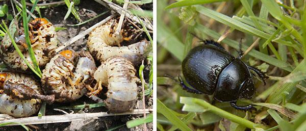 Black beetles in lawn