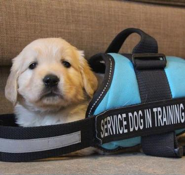 Tiny golden retriever puppy sitting in a harness way too big for it. The harness says, service dog in training