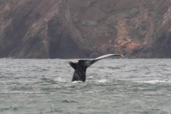 San Francisco Bay whales