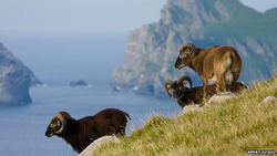 wild sheep on St Kilda island