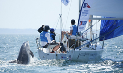 Dolphin checking out J/80 sailing off Brest, France