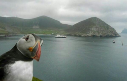 Wild puffin on St Kilda island