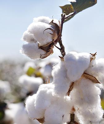 Rethinking cotton in nonwovens