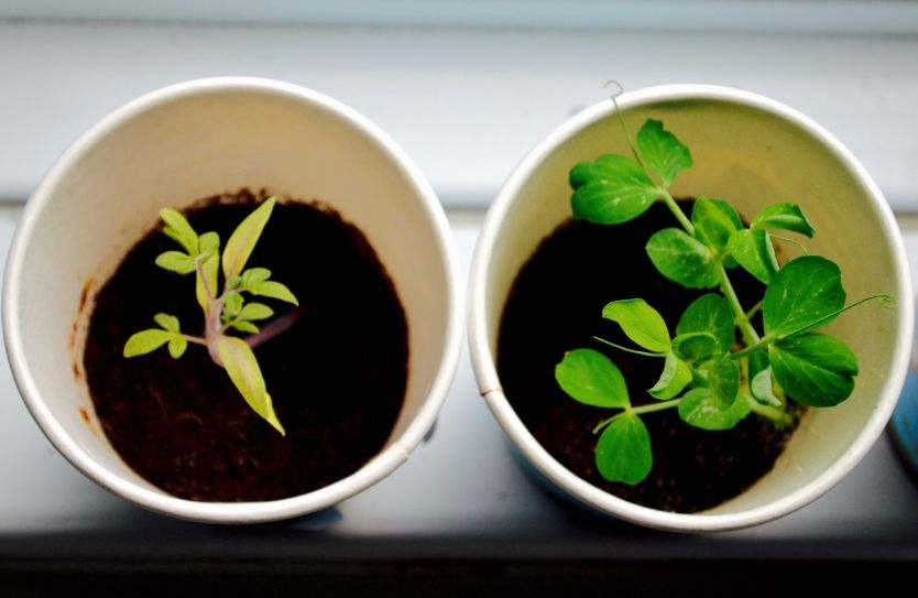 young plants in big grow pots